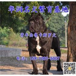 江苏泰兴卡斯罗犬出售价格