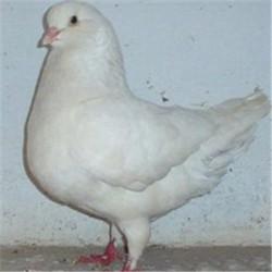出售银王种鸽    落地王种鸽