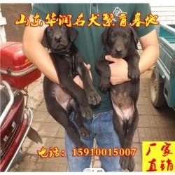 四川绵竹纯种黑狼犬基地在那里