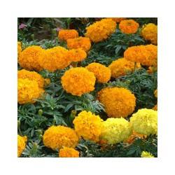 要买万寿菊当选御景花卉,万寿菊价格