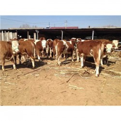 郑州西门塔尔母牛多少钱一头呢