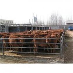 河南省利木赞牛哪里有卖的