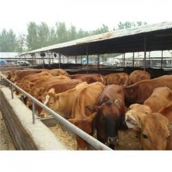 改良内蒙古黄牛