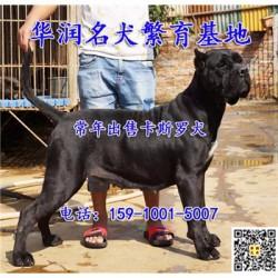 广西梧州三个月卡斯罗犬哪里有卖的