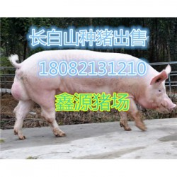 巴音郭楞新华黑母猪厂家价格
