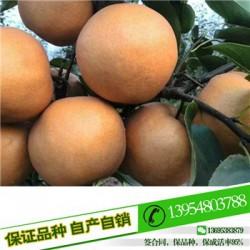 梨苗八月红梨梨苗种植技术