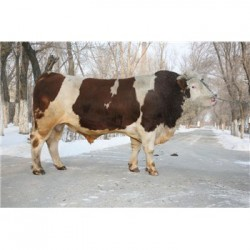 郑州小牛犊多少钱价格