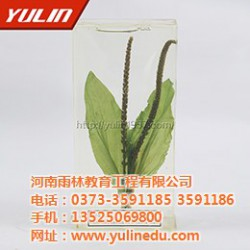 标本,花序植物保色浸制标本,雨林教育(优质
