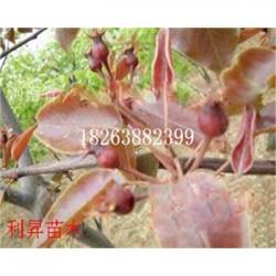 新梨7号梨树品种苗图片批发价格优质梨树苗