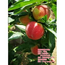 武汉桃苗种植、枣阳桃花岛、桃苗种植