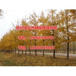 22公分实生银杏树价格|银杏树|老战友银杏(
