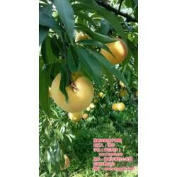 天门桃树苗|枣阳桃花岛|桃树苗种植利润