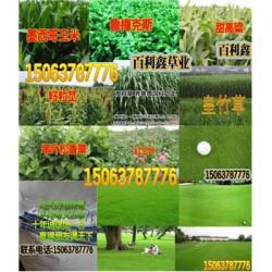 草坪播种量绿化草坪品种及图片