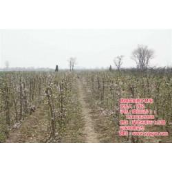 贵州桃树苗|桃树苗买卖|枣阳桃花岛(优质商