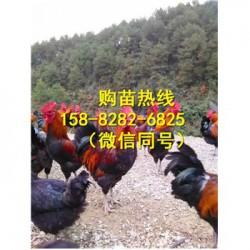 四川雅安青脚肉鸡苗基地