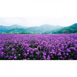 云南省七叶一枝花种子