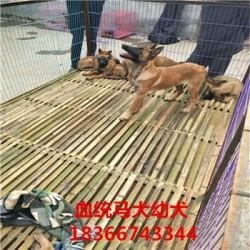铁岭成年科目马犬价格大型猎犬杜高犬