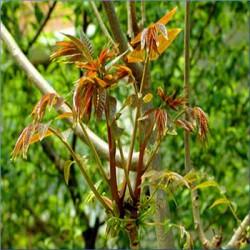 基地种植香椿苗   0·4cm--0.6cm香椿苗
