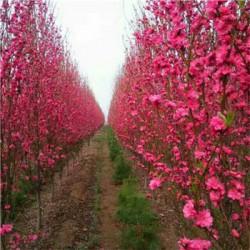 农户直销龙柱碧桃树价格  规格齐全  高成活