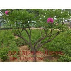 牡丹种苗价格北京牡丹苗价格.紫斑牡丹价格