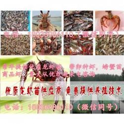 藁城今日小龙虾苗批发价格《现在有小龙虾种