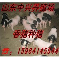 阳泉巴马香猪养殖场聊城 巴马香猪商品猪价