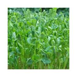 厦门豌豆苗市场 福建专业的豌豆苗种植批发