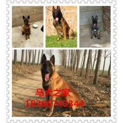 绥化血统卡斯罗护卫犬大型猎犬杜高犬