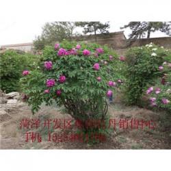 牡丹种苗价格湖南百年牡丹树价格.紫斑牡丹