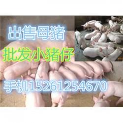 安徽育肥猪出售
