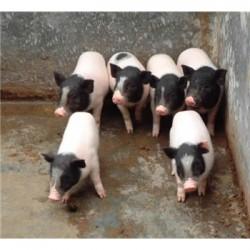 乌鲁木齐巴马香猪养殖场嘉兴去哪里卖巴马香