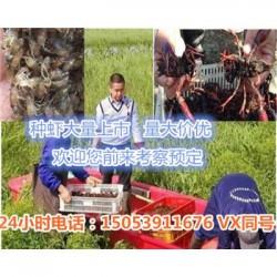 荔湾小龙虾指导价格—龙虾种苗报价
