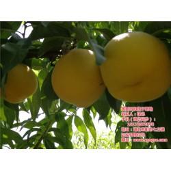 广东桃树苗|枣阳桃花岛|桃树苗人工