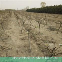 适栽范围广梨树苗晚秋梨树苗农户出售