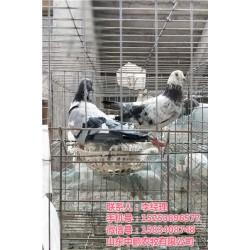 河北鸽蛋_山东中鹏农牧_白鸽蛋