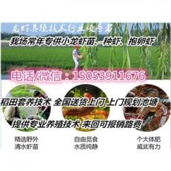 单县小龙虾指导价格—龙虾种苗报价