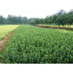 哪里批发红叶李,供应山东有品质的苗木