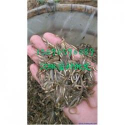 临沂郯城泥鳅苗养殖全国送货保价收购