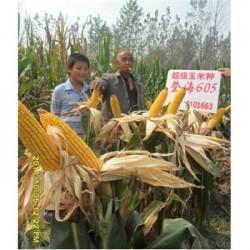 登海605玉米种
