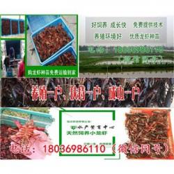 广西现在龙虾苗供应价格《怎么能养好小龙虾